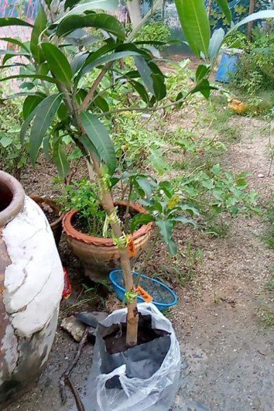 ตัวอย่างต้นมะม่วงแฟนซี 1 ต้น หลายสายพันธุ์